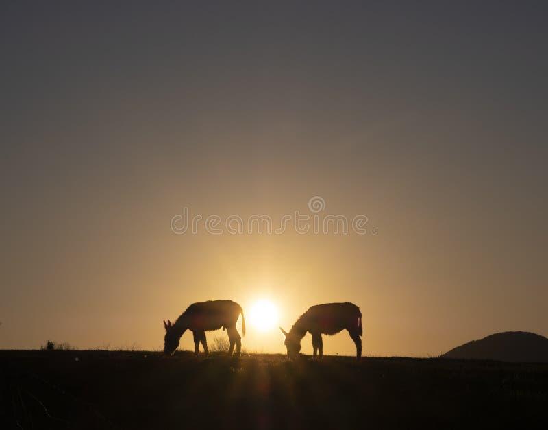 Asini che pascono al tramonto con il sole nei precedenti Euskadi immagini stock libere da diritti