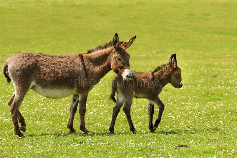 Asini del neonato e della madre fotografia stock libera da diritti