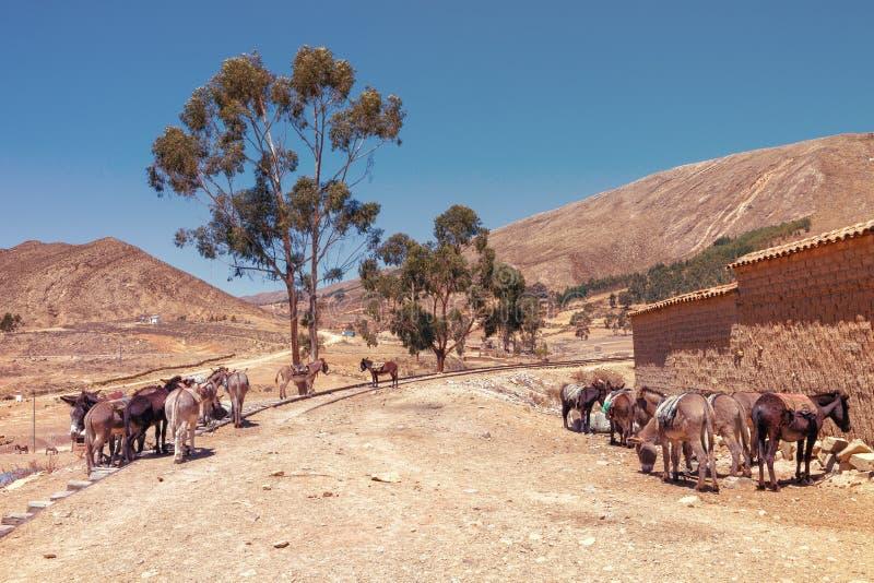 Asini di parcheggio in Tarabuco, Bolivia fotografie stock libere da diritti
