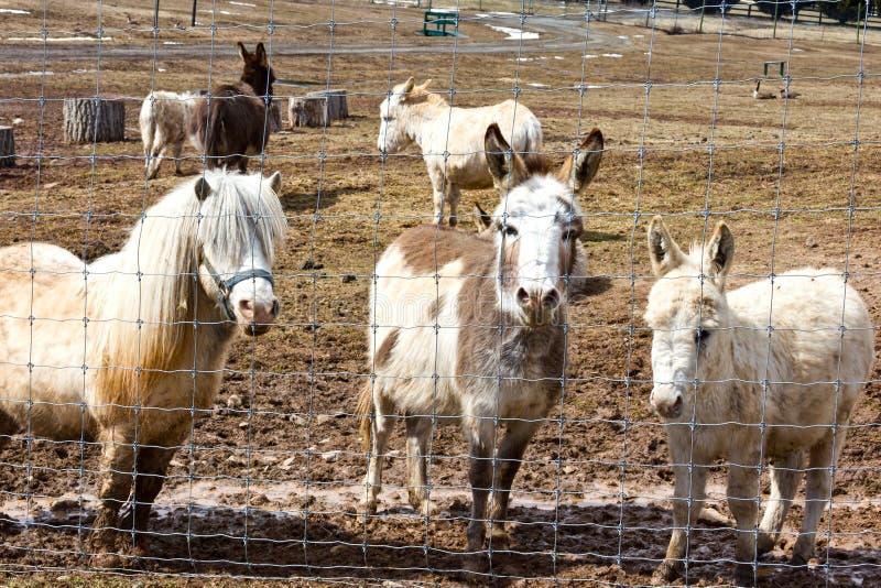Asini e cavallo da pet immagini stock