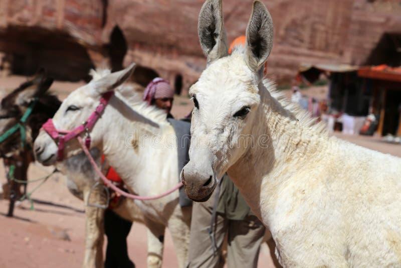 Asini fra il paesaggio di PETRA, Giordania del deserto dell'arenaria immagine stock libera da diritti