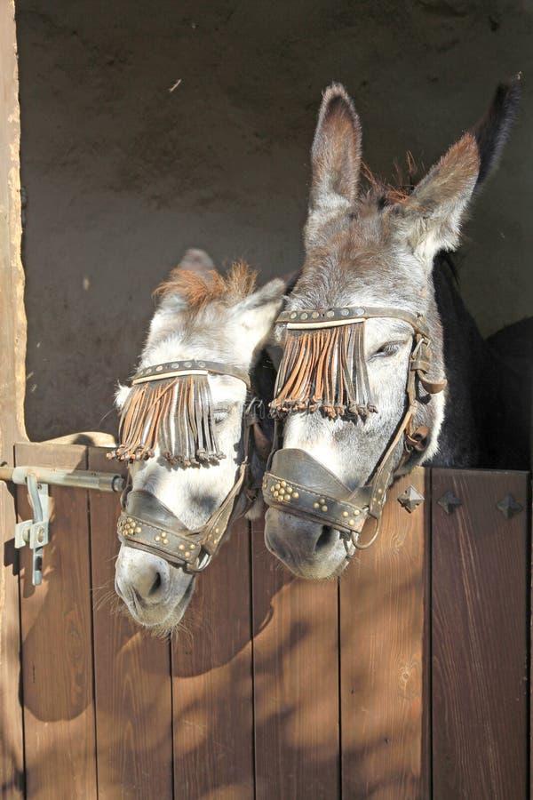Asini Frigiliana nella provincia Spagna di Malaga immagine stock libera da diritti