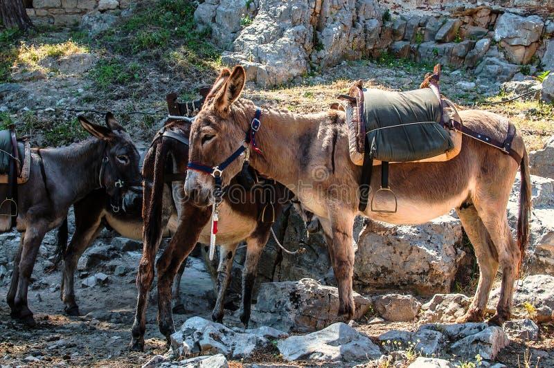 Asini greci tipici con la sella nelle montagne fotografia stock libera da diritti