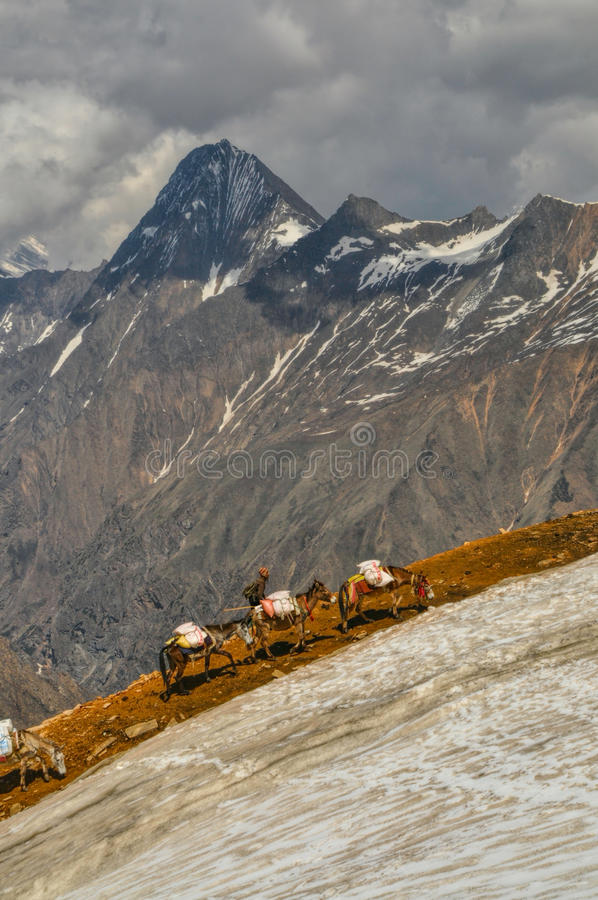 Asini in Himalaya immagine stock libera da diritti