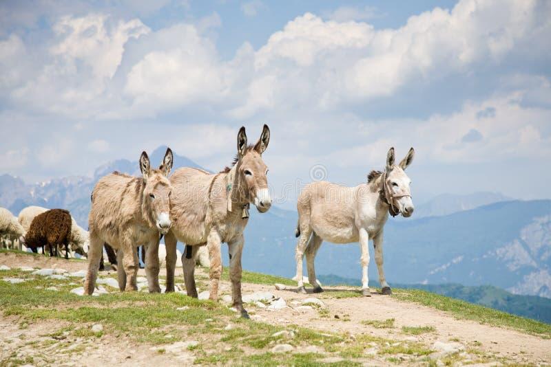 Asini in montagna immagine stock libera da diritti