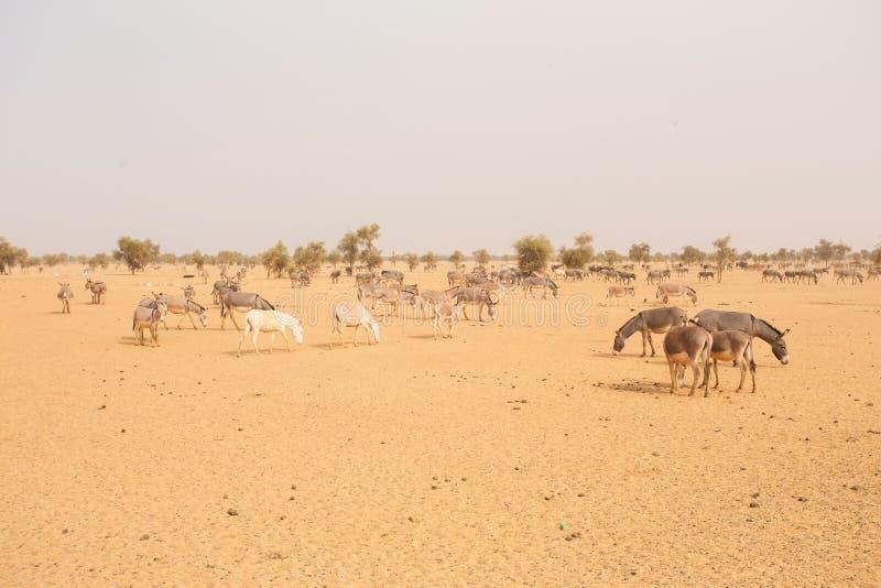 Asini nel deserto del Sahara, in Mauritania fotografia stock