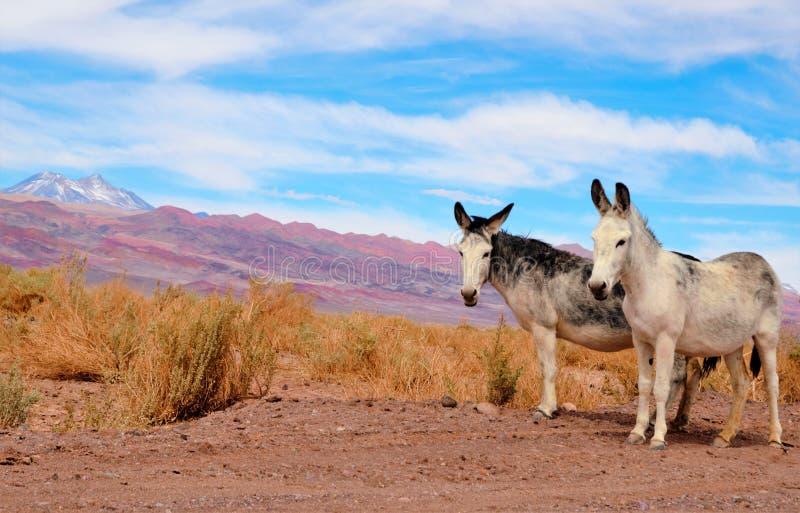 Asini nel deserto di Atacama immagine stock