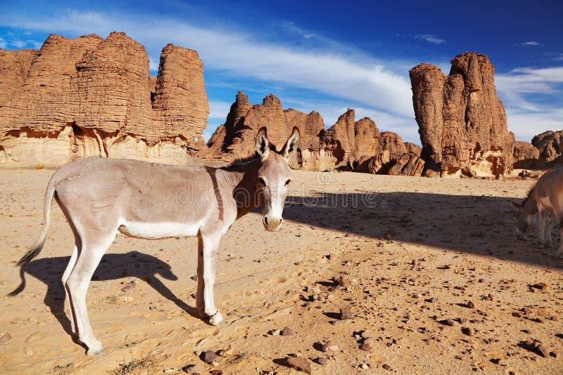 Asini nel deserto di Sahara fotografie stock libere da diritti