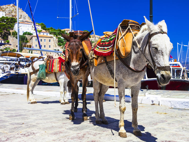 asini nell'isola della hydra, Grecia immagine stock