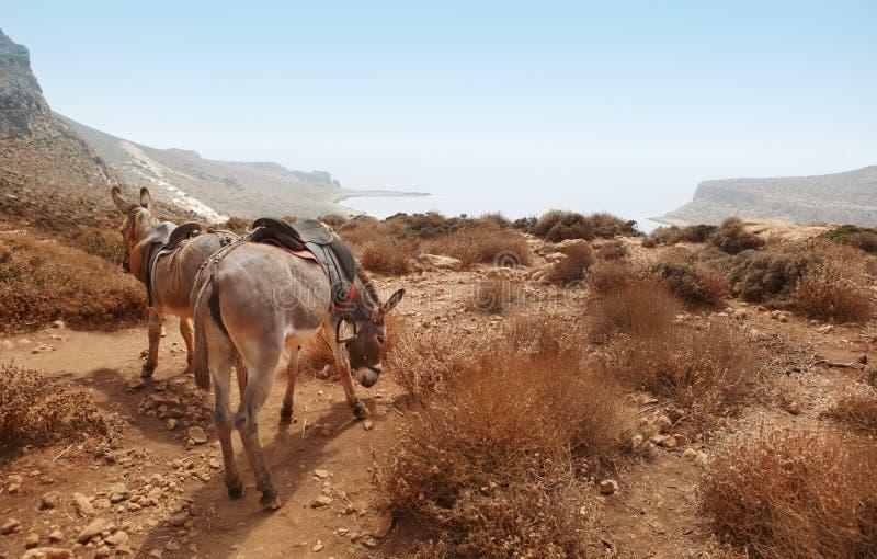 Asini nella montagna Spiaggia di Balos crete fotografie stock