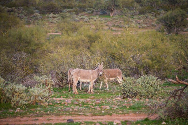 Asini selvaggi dell'Arizona fotografie stock