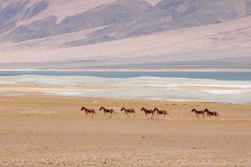Asini selvaggi nel Tibet fotografia stock libera da diritti