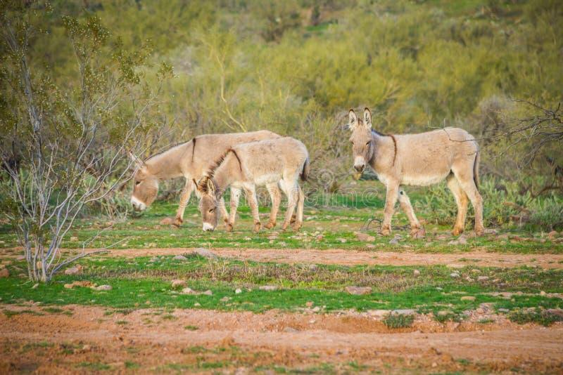 Asini selvaggi sull'Arizona fotografia stock libera da diritti