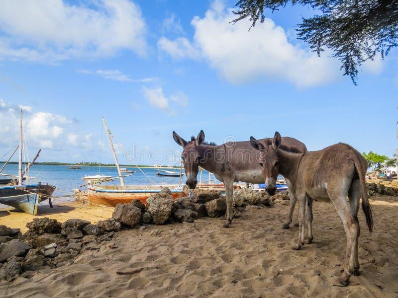 Asini sulla spiaggia di Shela immagini stock