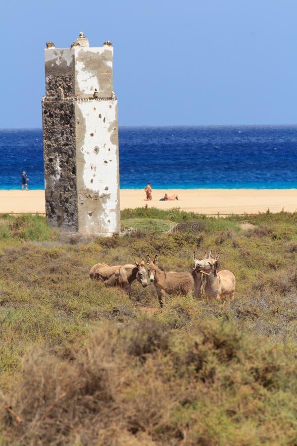 Asini vicino alla spiaggia in Morro Jable, isole Canarie di Fuerteventura fotografie stock