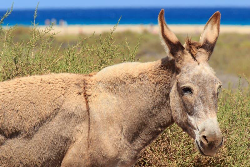 Asini vicino alla spiaggia in Morro Jable, isole Canarie di Fuerteventura immagine stock