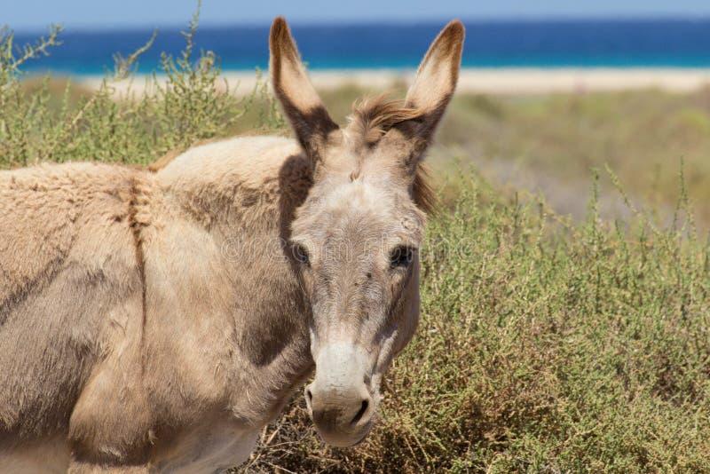 Asini vicino alla spiaggia in Morro Jable, isole Canarie di Fuerteventura immagini stock
