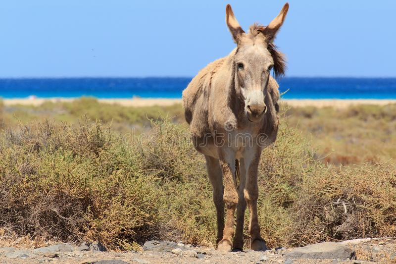 Asini vicino alla spiaggia in Morro Jable, isole Canarie di Fuerteventura fotografie stock libere da diritti