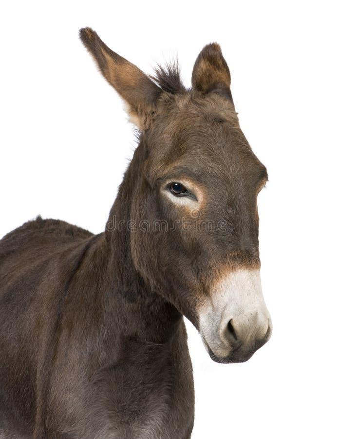 Asino (4 anni) immagine stock libera da diritti