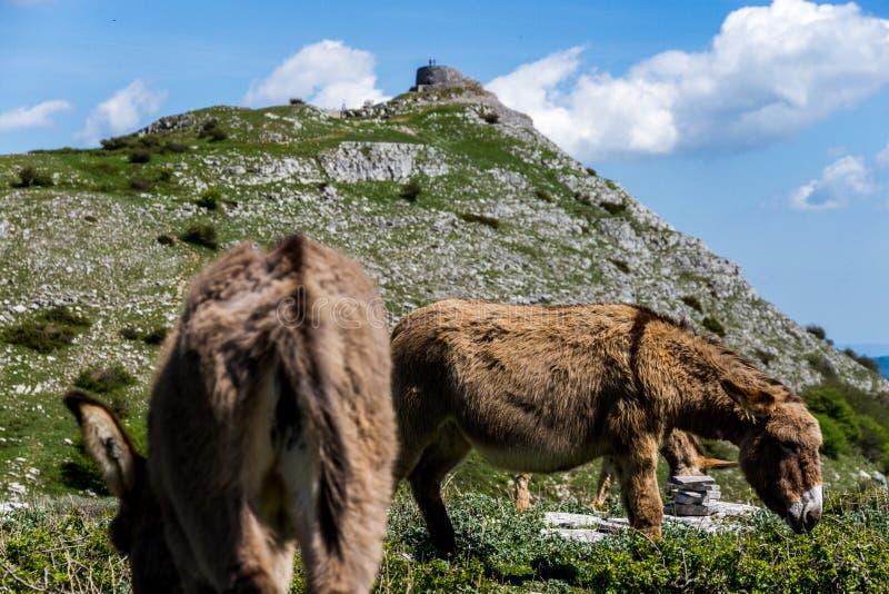Asino Amiatino, Amiatino Donkey Grazing On Mount Labbro Equus af. Asino Amiatino, Amiatino Donkey Grazing On Mount Labbro Equus stock photos