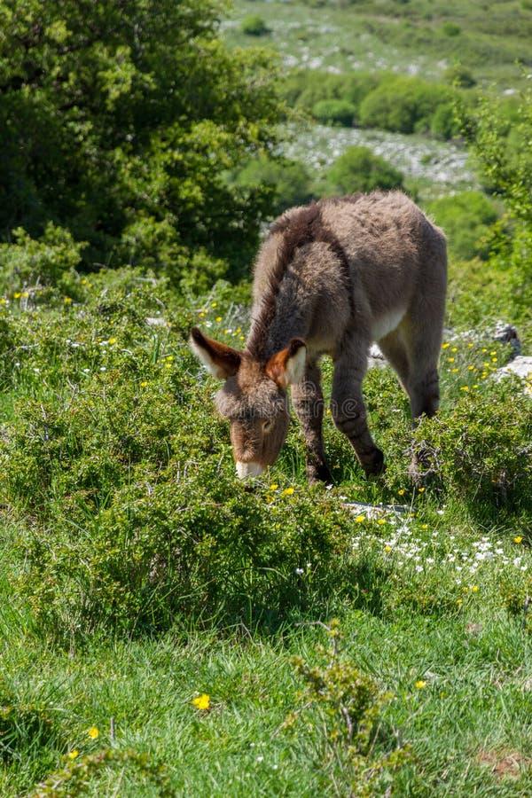 Asino Amiatino, Amiatino Donkey Grazing On Mount Labbro Equus af. Ricanus asinus royalty free stock photos