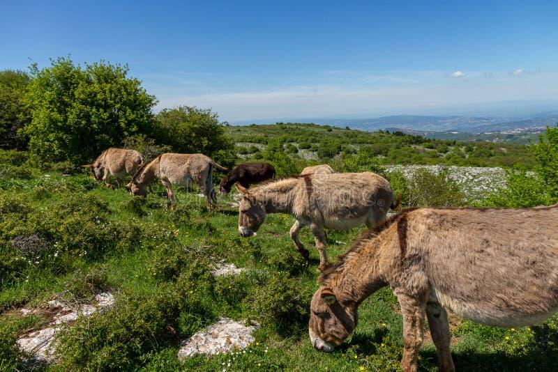 Asino Amiatino, Amiatino Donkey Grazing On Mount Labbro Equus af. Ricanus asinus stock photos