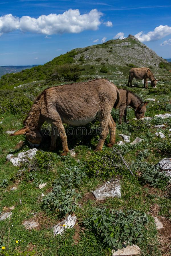 Asino Amiatino, Amiatino Donkey Grazing On Mount Labbro Equus af. Asino Amiatino, Amiatino Donkey Grazing On Mount Labbro Equus royalty free stock photos