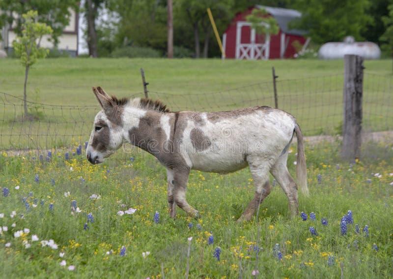 Asino bianco e marrone della pittura in Ennis, il Texas fotografie stock