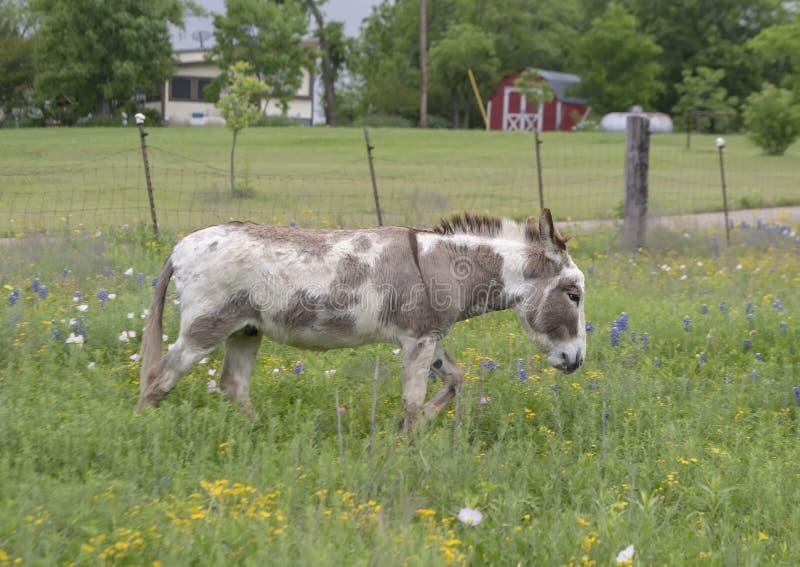 Asino bianco e marrone della pittura in Ennis, il Texas immagini stock libere da diritti
