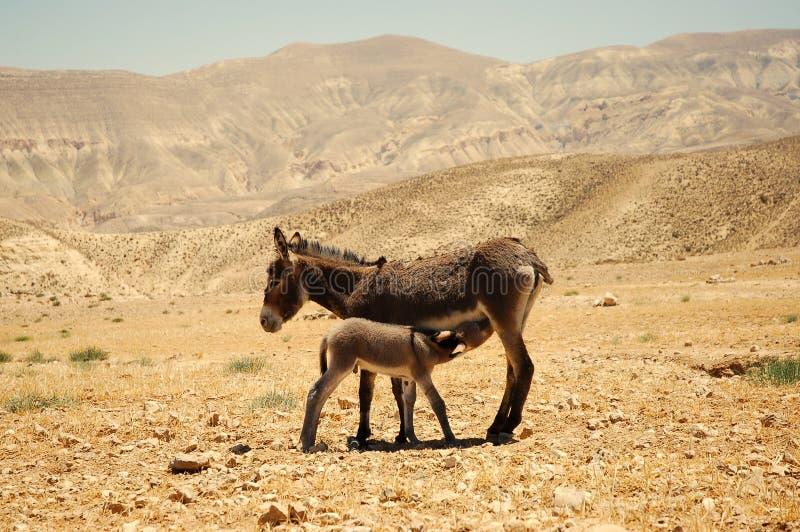 Asino con il foal. immagini stock libere da diritti