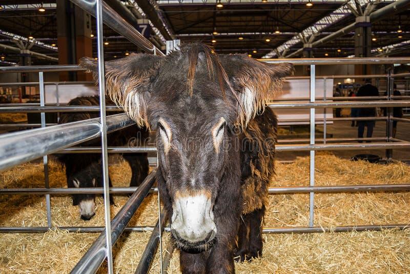 Asino davanti al popolare con paglia in bestiame giusto fotografia stock