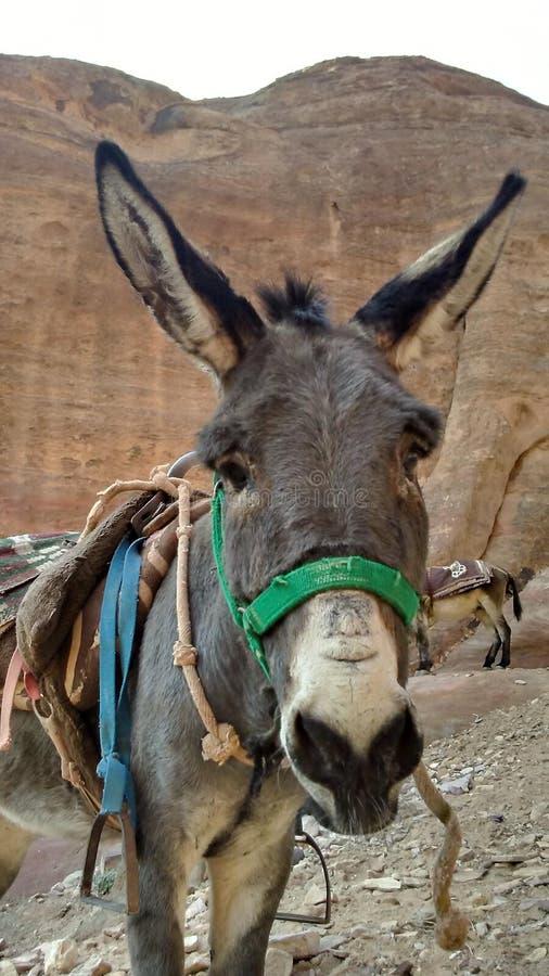 Asino della Giordania sul modo al tesoro fotografia stock libera da diritti