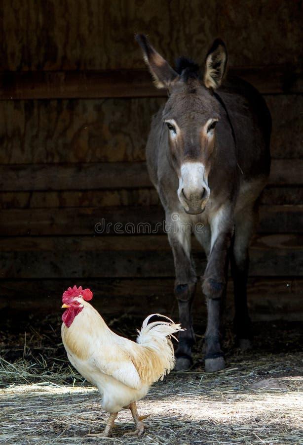 Asino e pollo fotografia stock libera da diritti