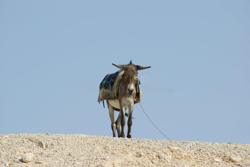 Asino nel deserto di Judean, Israele fotografia stock libera da diritti