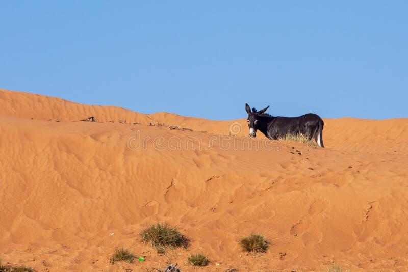 Asino nero che prova a nascondersi dietro una duna e un cielo blu di sabbia arancio luminosi fotografia stock