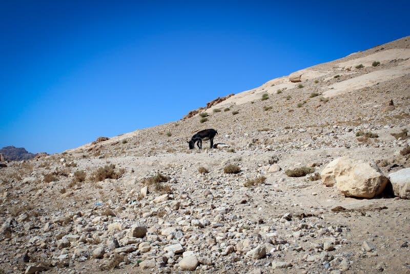 Asino nero della città antica di PETRA, Giordania fotografie stock