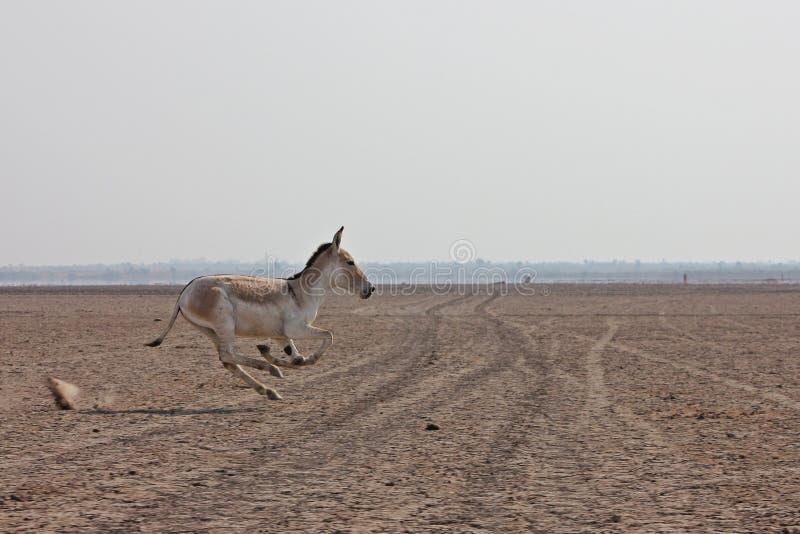 Asino selvaggio indiano fotografie stock