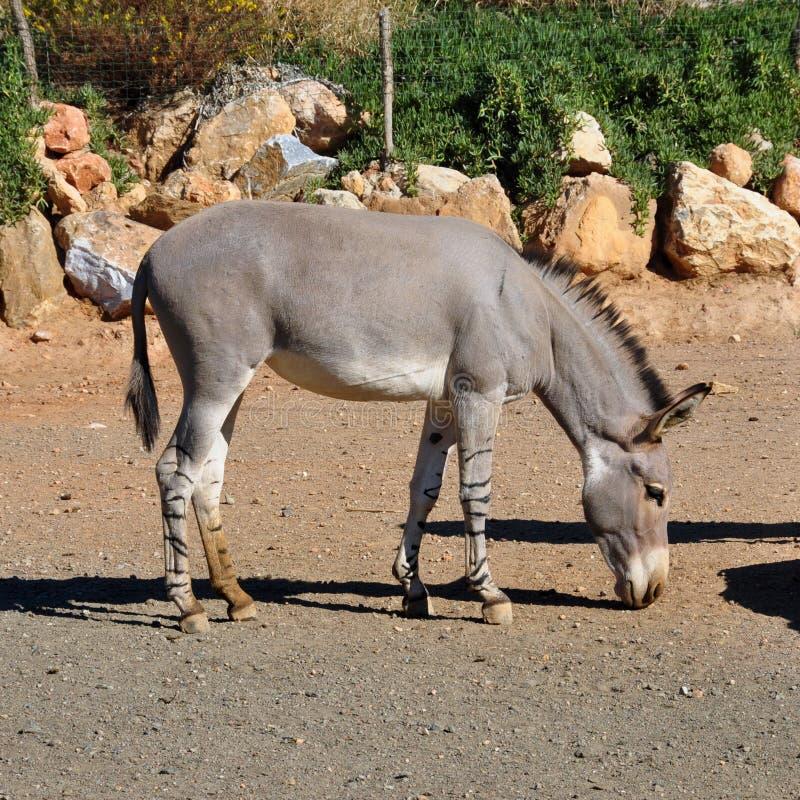 Asino selvaggio somalo africano immagini stock