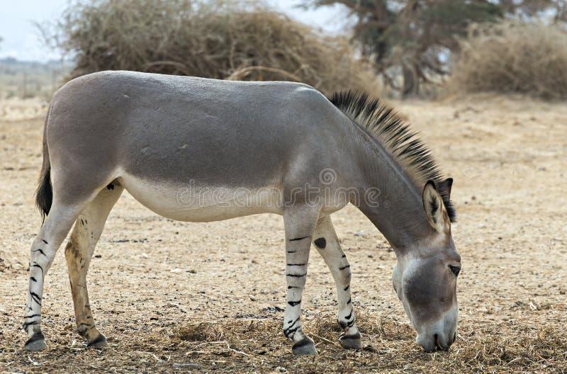 Asino selvaggio somalo nella riserva naturale fotografie stock libere da diritti