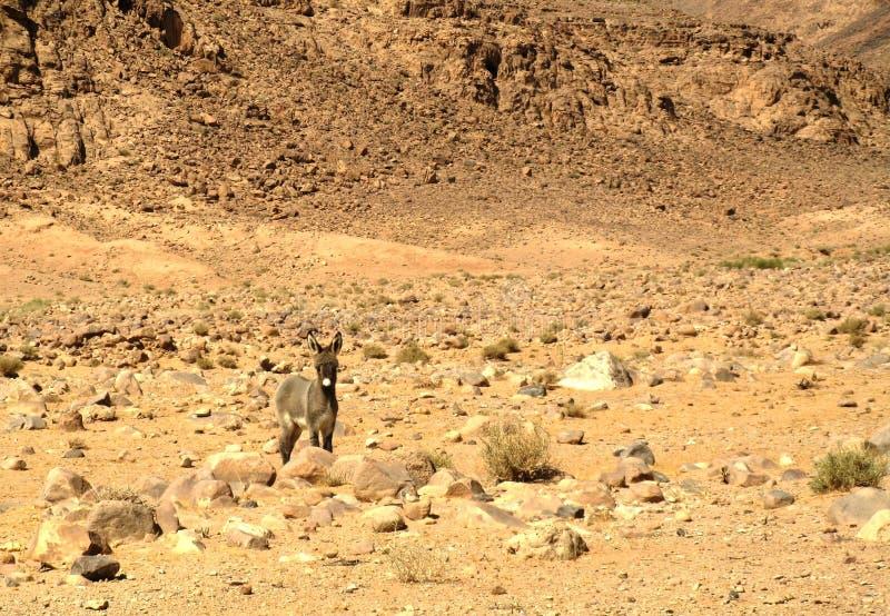 Asino sul deserto di Wadi Rum, Giordania immagine stock