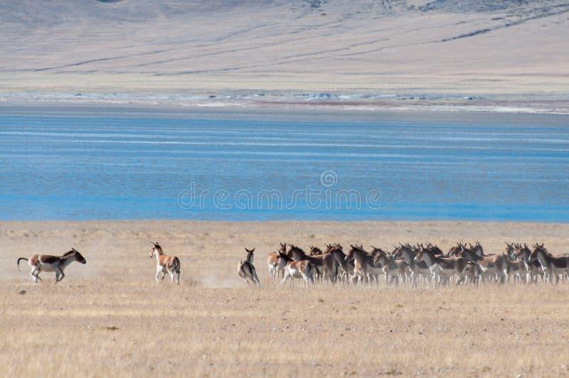 Asino tibetano selvaggio fotografia stock libera da diritti