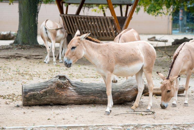 Asino in zoo fotografia stock libera da diritti