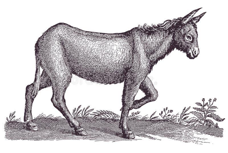 Asno Ilustraciones Stock, Vectores, Y Clipart – (380