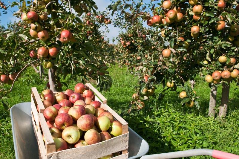 Ask med äpplen arkivbild