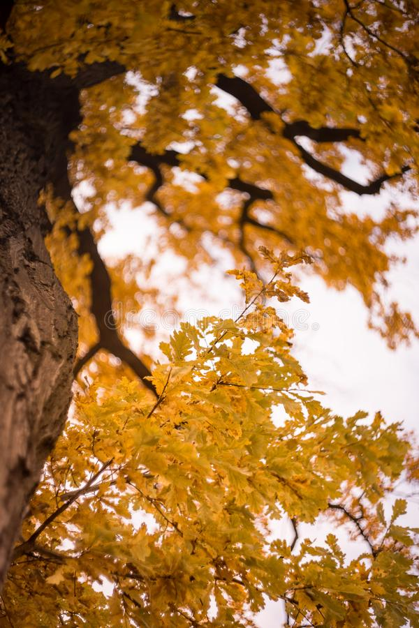 ask tree branch yellow leaves bokeh background outdoor autumn day sunlight royalty free stock images
