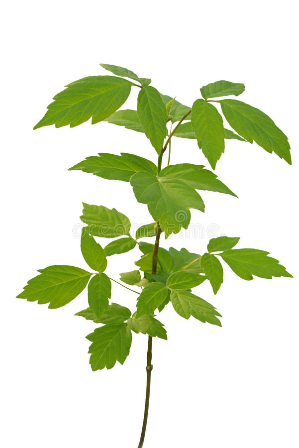 Aska-leaved lönnungt träd royaltyfria foton