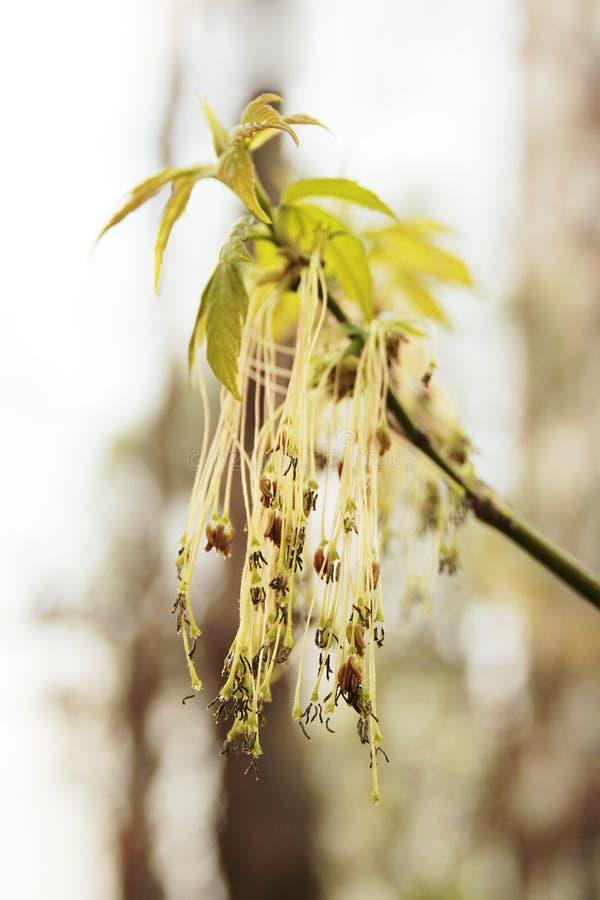askaen blommar leaved male lönn royaltyfria foton