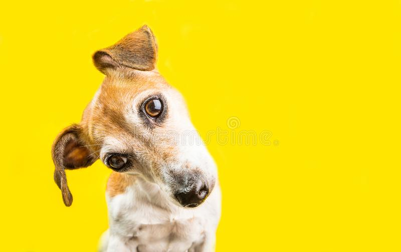 Asking surprised curious lovely dog Jack Russell terrier portrait on yellow background. Bright emotions. Adorable pup muzzle royalty free stock image