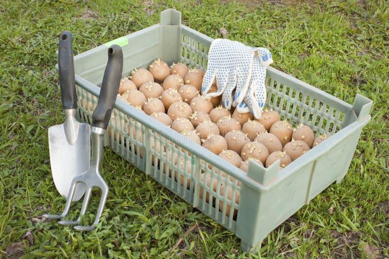 askpotatoe kärnar ur fotografering för bildbyråer