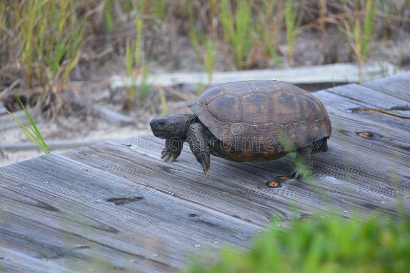 Asksköldpaddan är målmedveten i dess drev att få till dess rede längs den norr Florida strandstrandpromenaden royaltyfria foton